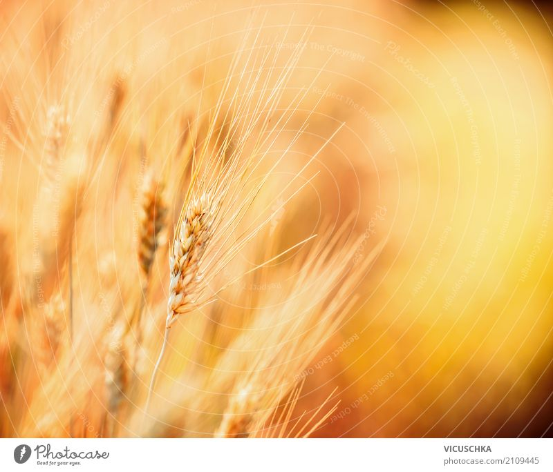 Close-up of grain Lifestyle Design Healthy Eating Summer Nature Landscape Field Yellow Background picture Agriculture Grain Grain field Grain harvest Harvest
