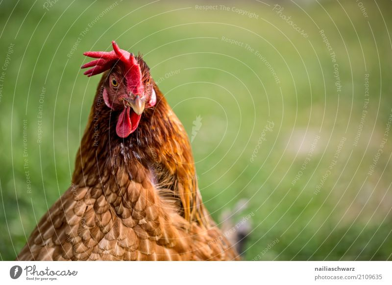 chicken Summer Agriculture Forestry Environment Nature Spring Grass Meadow Animal Pet Farm animal Bird Animal face Barn fowl 1 Observe Looking Natural Curiosity