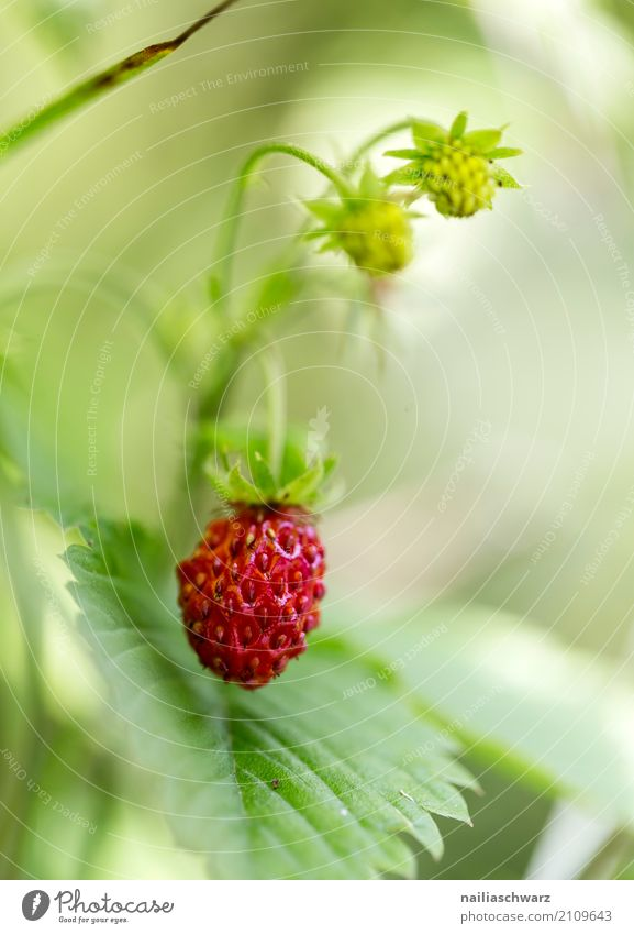wild berries Environment Nature Plant Spring Summer Bushes Wild plant Strawberry Wild strawberry Fragaria vesca Garden Meadow Forest Fragrance To enjoy