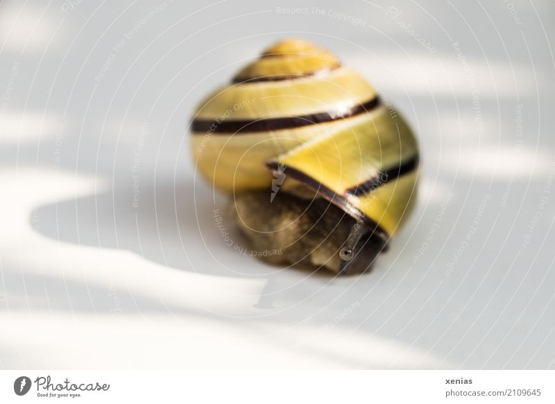 """Eyes carefully first,"" thought the snail on the white background Crumpet Brown-lipped snail Feeler 1 Animal Looking White Caution Goggle eyed Copy Space left"