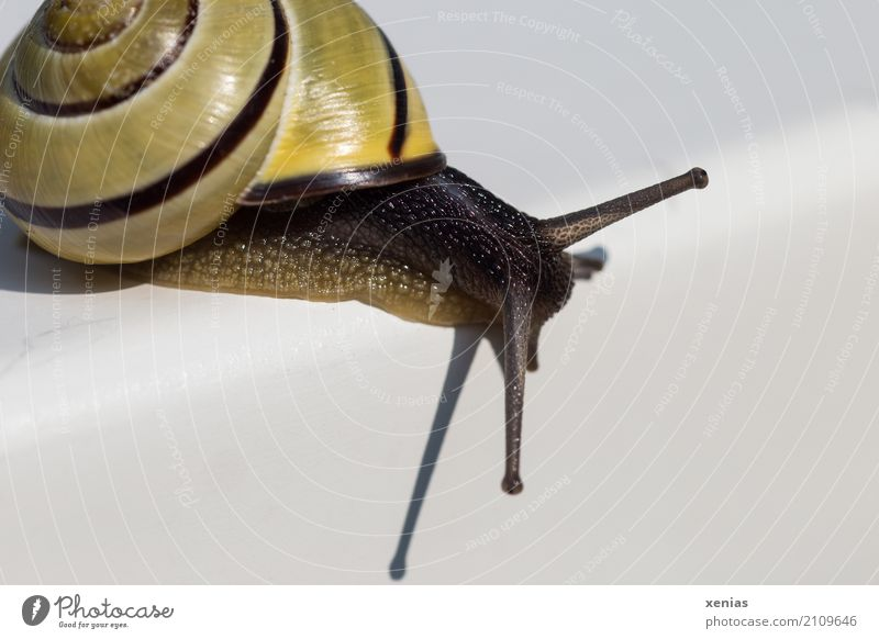 Snail crawls over white rounded corner Crumpet Brown-lipped snail 1 Animal Looking White Serene Curiosity Slowly Cozy Feeler Close-up Copy Space right Shadow