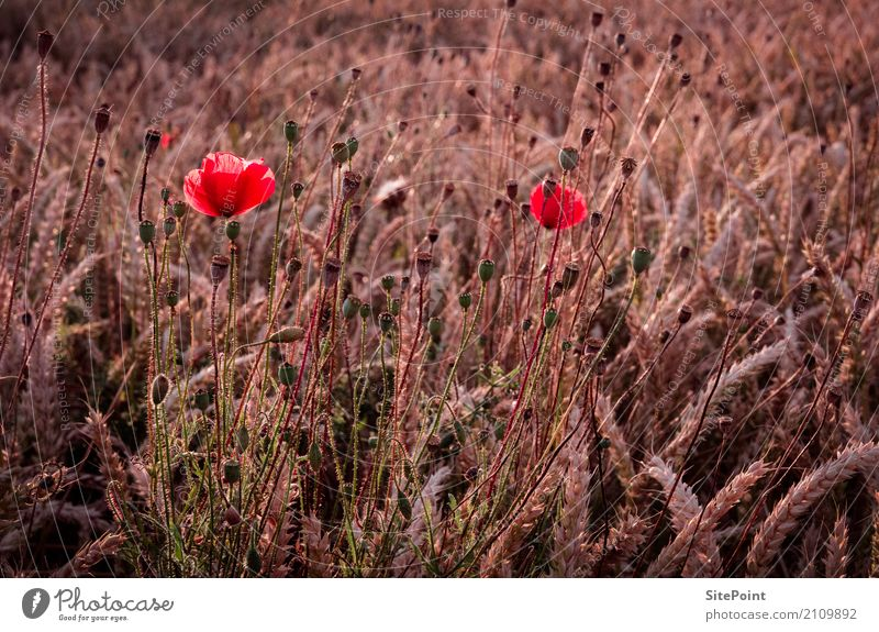 poppy Nature Landscape Plant Agricultural crop Meadow Field Pink Red Idyll Calm Poppy Poppy blossom Wheatfield Colour photo Subdued colour Exterior shot