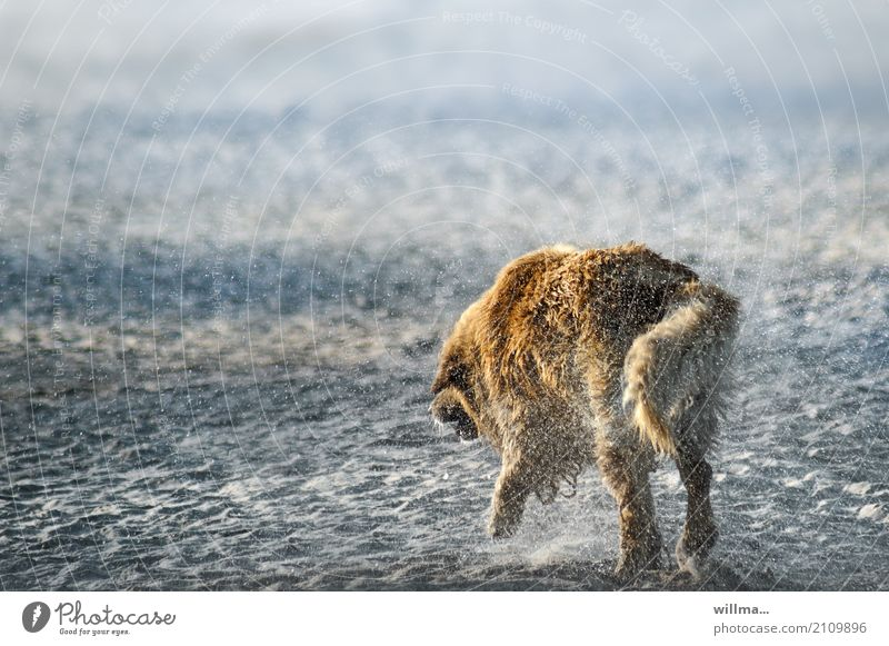 Dog shakes water out of its fur on the beach Beach Animal Pet Golden Retriever Wet Shake Sandy beach Colour photo Exterior shot