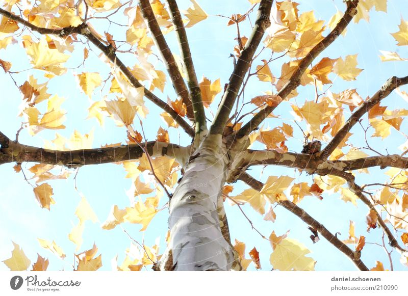 Nature Sky Tree Blue Leaf Yellow Autumn Change Climate Transience Branch Seasons Tree trunk Beautiful weather Autumn leaves Birch tree