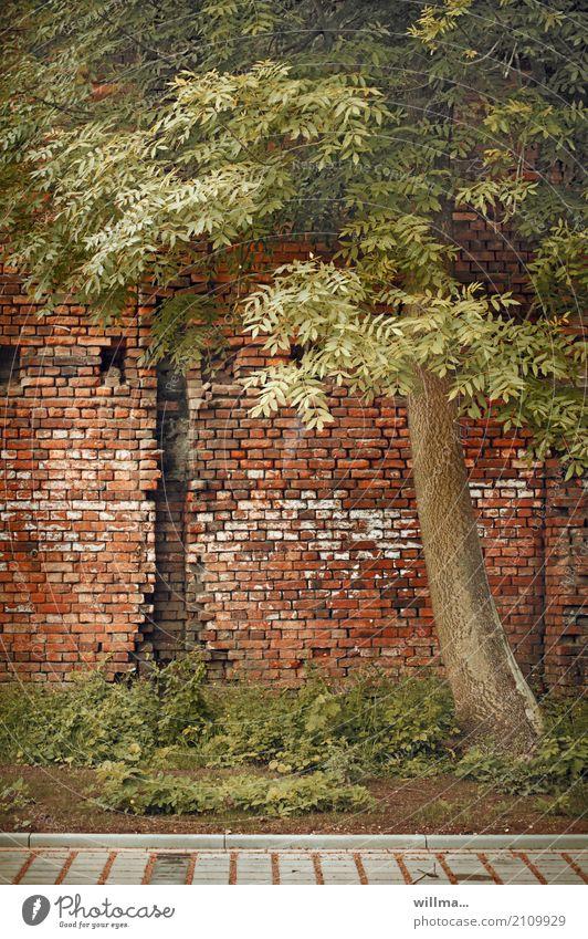 Tree Wall (building) Wall (barrier) Broken Decline Brick wall Symbiosis Fabaceae Robinia Brick construction