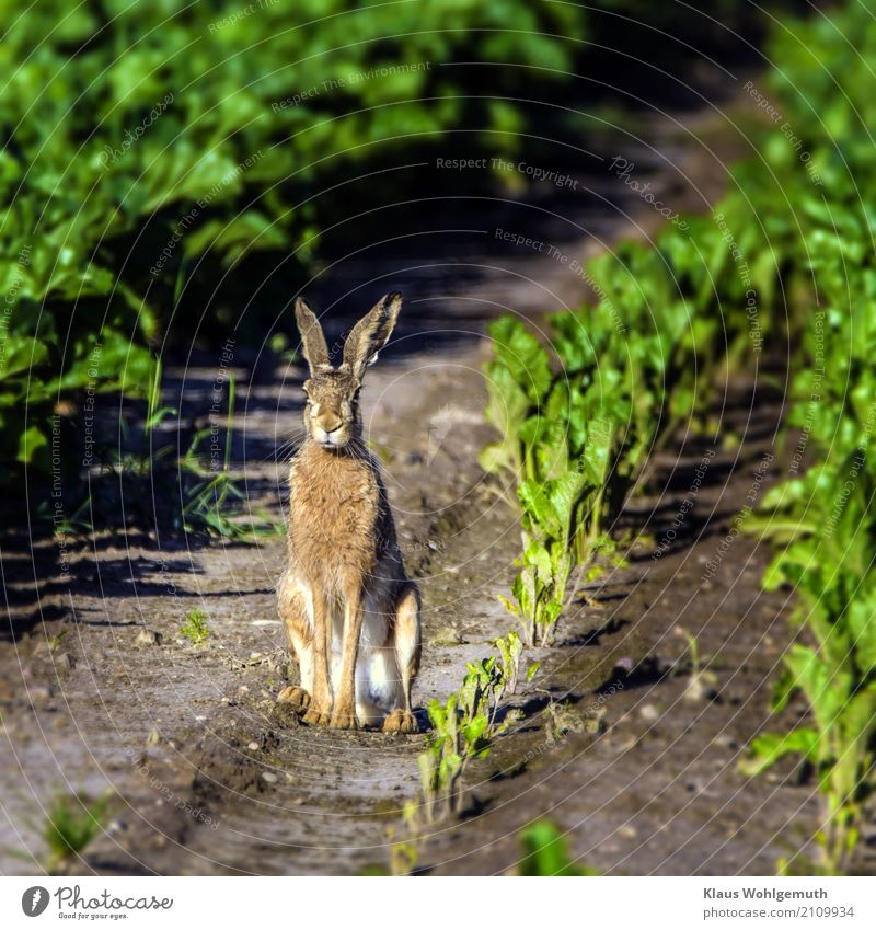 hare Environment Nature Animal Summer Plant Sugar beet Field Pelt Wild animal Animal face Paw Hare & Rabbit & Bunny 1 Observe Sit Wait Brown Gray Green Hunting