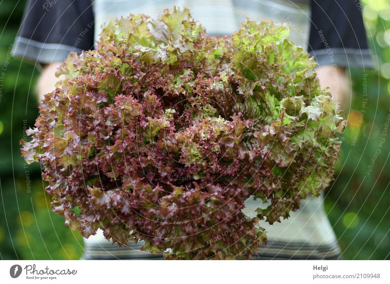 large portion Food Lettuce Salad Lollo rosso Nutrition Organic produce Vegetarian diet Human being Masculine Arm To hold on Authentic Fresh Healthy Delicious