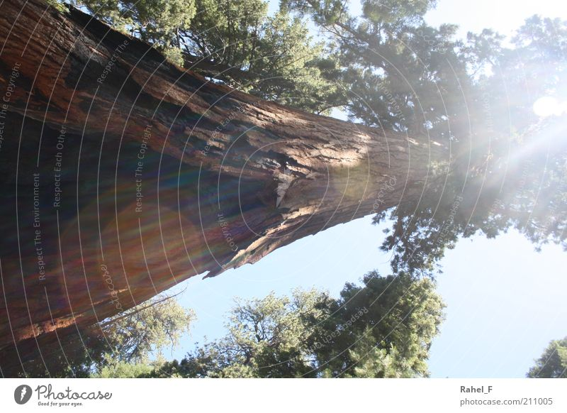 shining through Nature Elements Sunlight Tree Exotic Wood Discover Growth Gigantic Large Brown Green Power Protection Calm Life Unwavering Colour photo