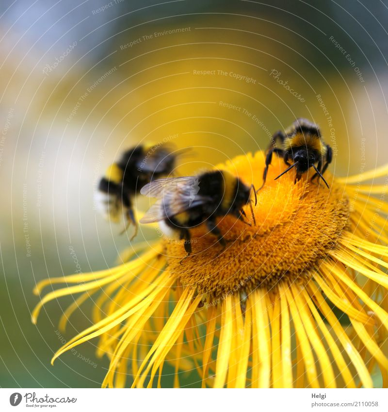 communal meal Environment Nature Plant Animal Summer Beautiful weather Blossom Park Bumble bee 3 To feed Crawl Esthetic Together Uniqueness Small Natural Yellow