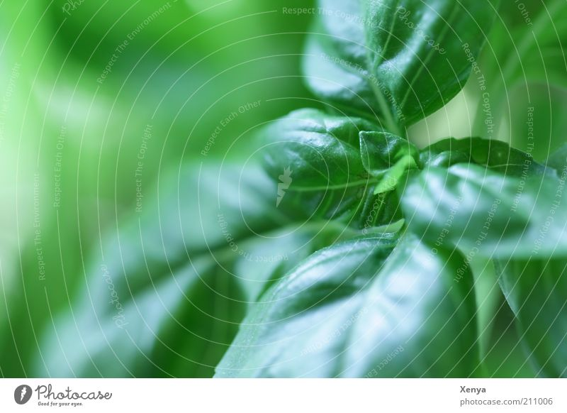 basil Herbs and spices Plant Foliage plant Agricultural crop Fresh Delicious Green Basil Colour photo Macro (Extreme close-up) Copy Space left Day Blur Deserted