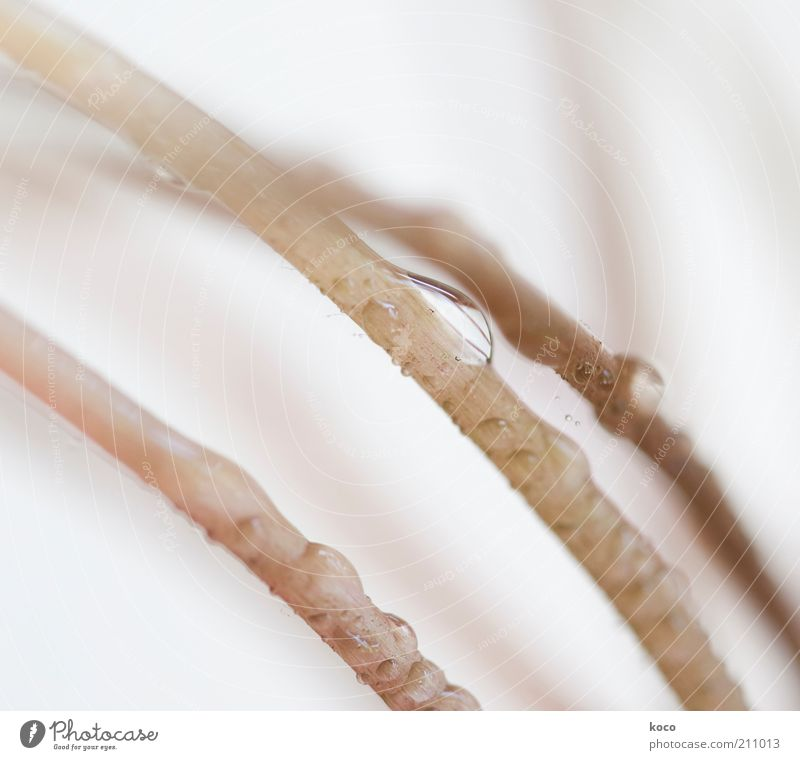 water drops Plant Drops of water Rain Flower Grass Foliage plant Stalk Water Line Esthetic Exceptional Thin Fluid Long Wet Brown White Pure Subdued colour