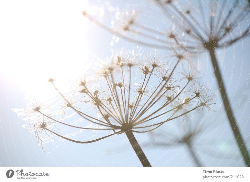 Nature Sky White Sun Flower Blue Plant Autumn Blossom Grass Warmth Air Bright Glittering Elegant Weather