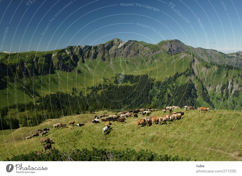 Many cows make trouble Vacation & Travel Tourism Trip Adventure Far-off places Freedom Summer Mountain Environment Nature Landscape Cloudless sky