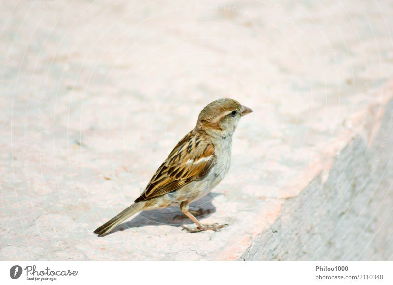 Sparrow posed on a stone Company Woman Adults Couple Nature Animal Autumn Castle Bird Butterfly Small Cute Wild Blue Brown White 1 alpen background Battlement