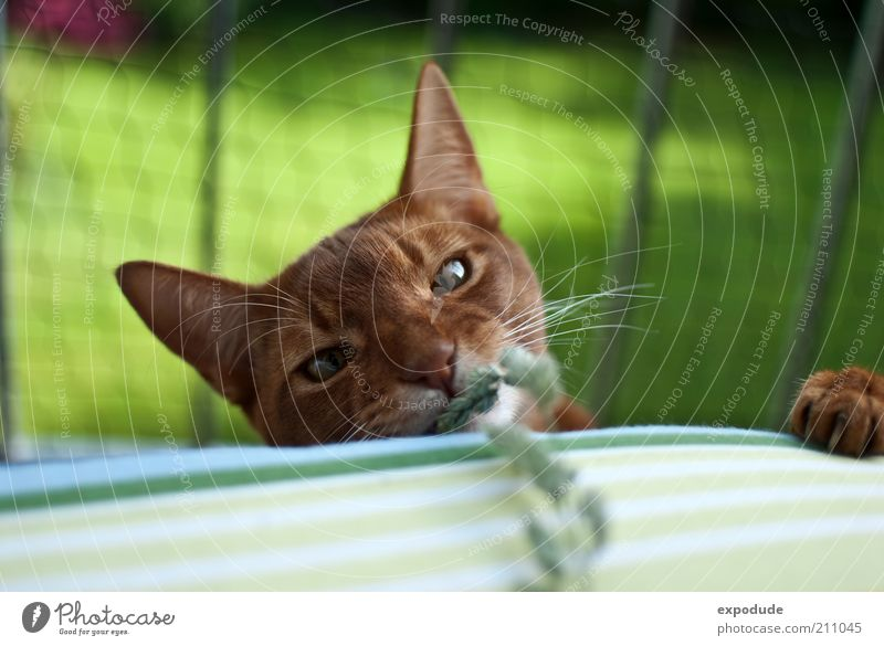 Playing cat Pet Cat Claw Abyssinian 1 Animal Wild Red Joy Colour photo Exterior shot Deserted Copy Space top Day Contrast Shallow depth of field Animal portrait