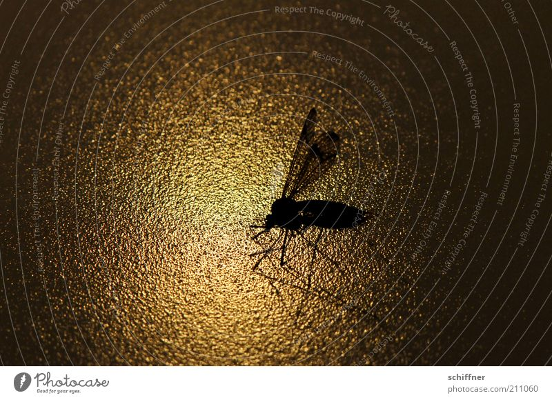 Flying home Nature Animal Wing Crane fly Insect 1 Esthetic Twilight Close-up Macro (Extreme close-up) Light Shadow Silhouette Reflection Low-key Animal portrait