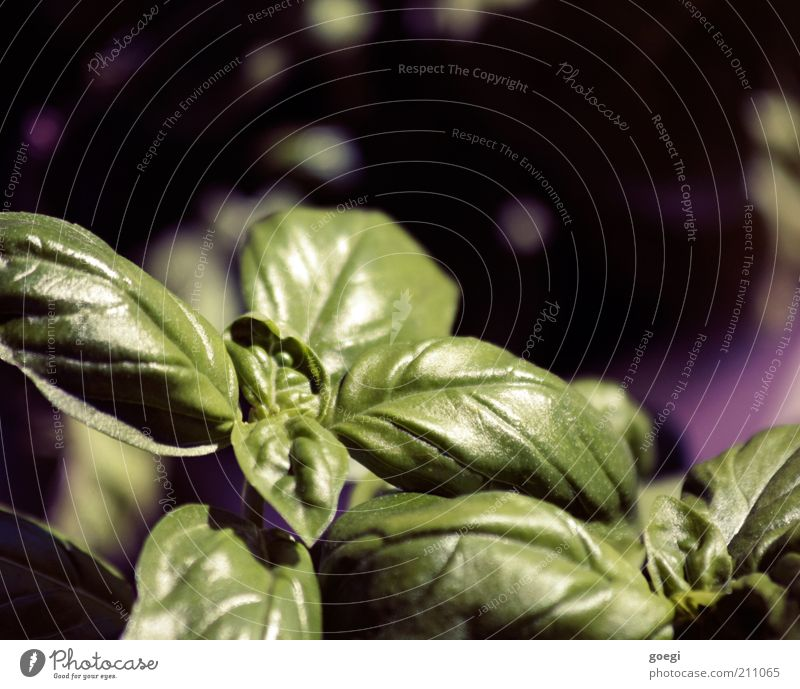 Nature Green Summer Plant Black Healthy Fresh Violet Herbs and spices Delicious Fragrance Nutrition Foliage plant Agricultural crop Basil Caprese