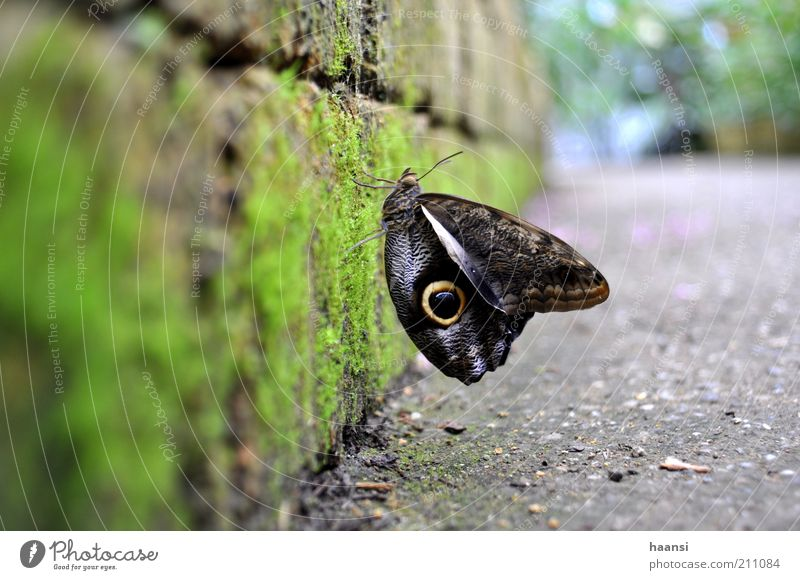Animal Wing Butterfly Moss Light Building stone Stone wall Flying insect Noble butterfly