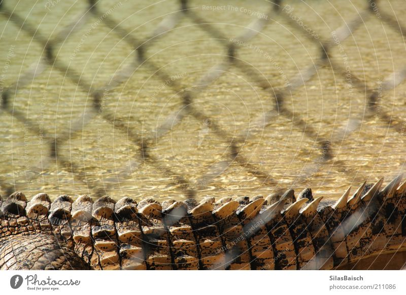 Dangerous Monster Water Bog Marsh Animal Wild animal Zoo Crocodile crocodile tail 1 Fence Relaxation Exceptional Threat Creepy Thorny Nature Colour photo