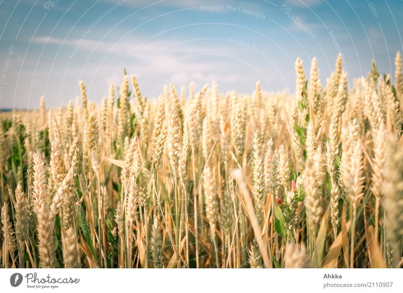 Nature Plant Blue Summer Environment Yellow Background picture Healthy Food Agriculture Many Harvest Agriculture Positive Mature Wheat