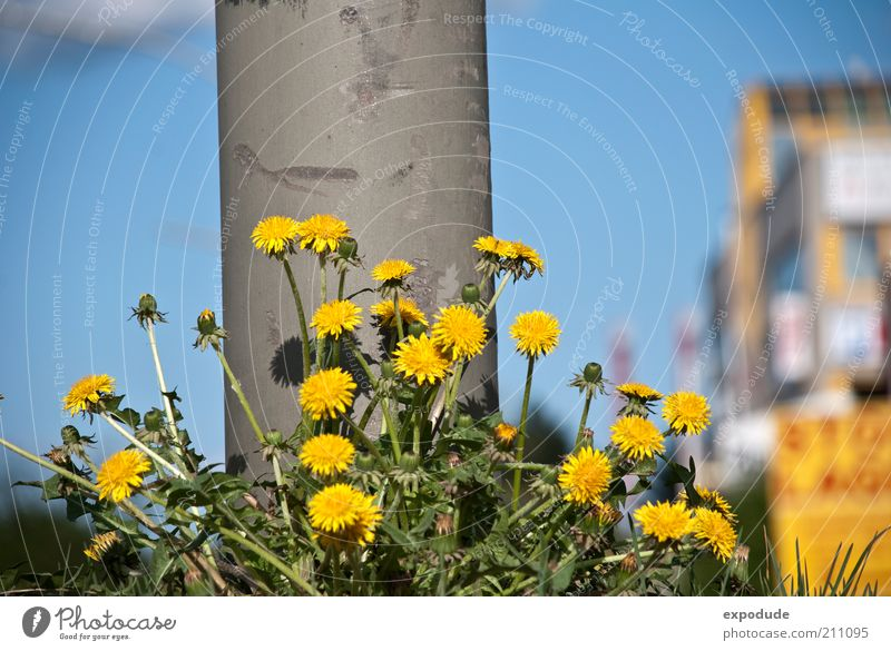 Nature Sky Flower City Green Blue Plant Summer Yellow Colour Spring Gray Growth Joie de vivre (Vitality) Dandelion Column