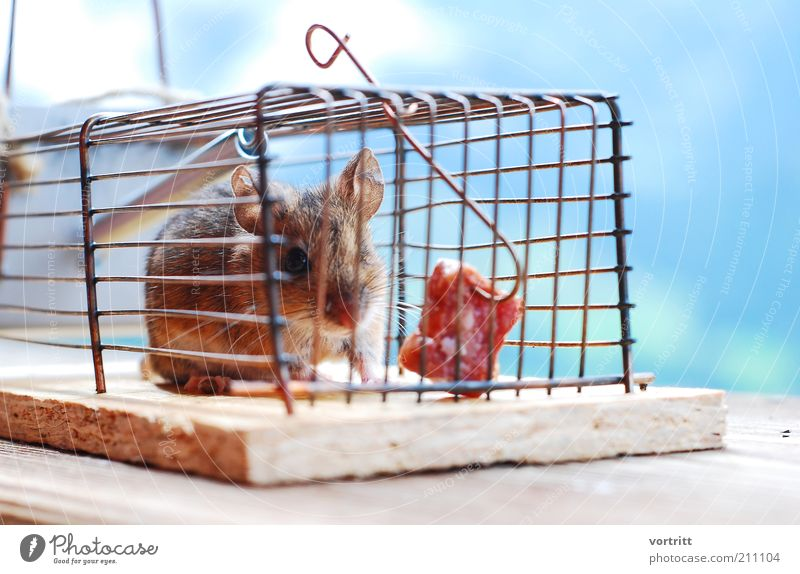 mouse hotel Sausage Nature Animal Wild animal Mouse 1 Feeding Hunting Poverty Fear Mouse trap Bacon Hoe Cage Colour photo Exterior shot Animal portrait
