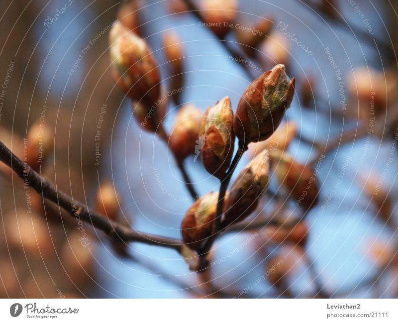 April mood I Beech tree Spring Blue Blur Tree Plant Close-up beech catkin Bud Sky Blue sky Macro (Extreme close-up)