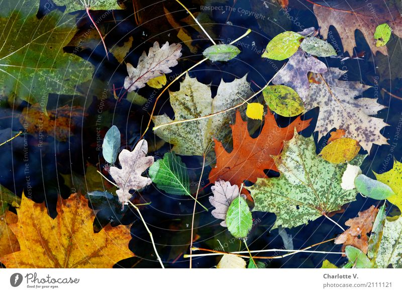 leaf chaos Plant Autumn Leaf Maple leaf Oak leaf Beech leaf Water Illuminate To dry up Esthetic Simple Broken Natural Beautiful Wild Yellow Green Orange Black