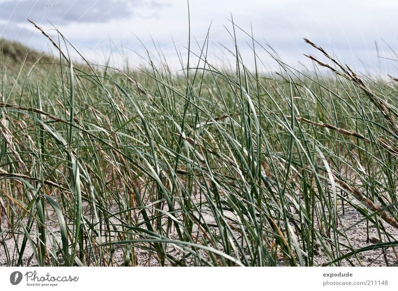 beach grass Environment Nature Landscape Plant Elements Earth Sand Beautiful weather Grass Wild plant Coast North Sea Green Esthetic Relaxation Colour photo
