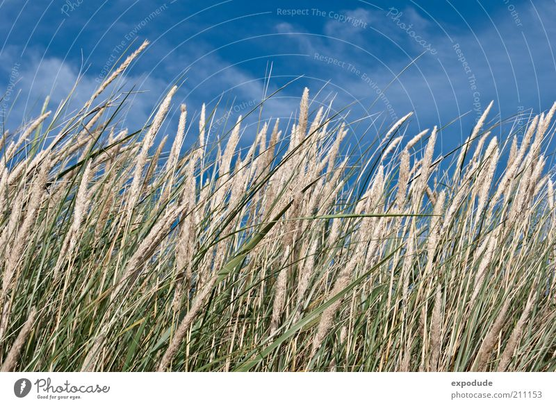 Blossoming beach grass Environment Nature Landscape Plant Elements Earth Air Sky Summer Beautiful weather Grass Wild plant Coast North Sea Blue Brown Green