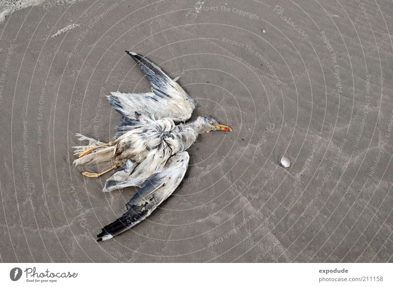 dead seagull Environment Animal Earth Wild animal Dead animal Bird 1 Death Colour photo Subdued colour Exterior shot Deserted Copy Space right Day