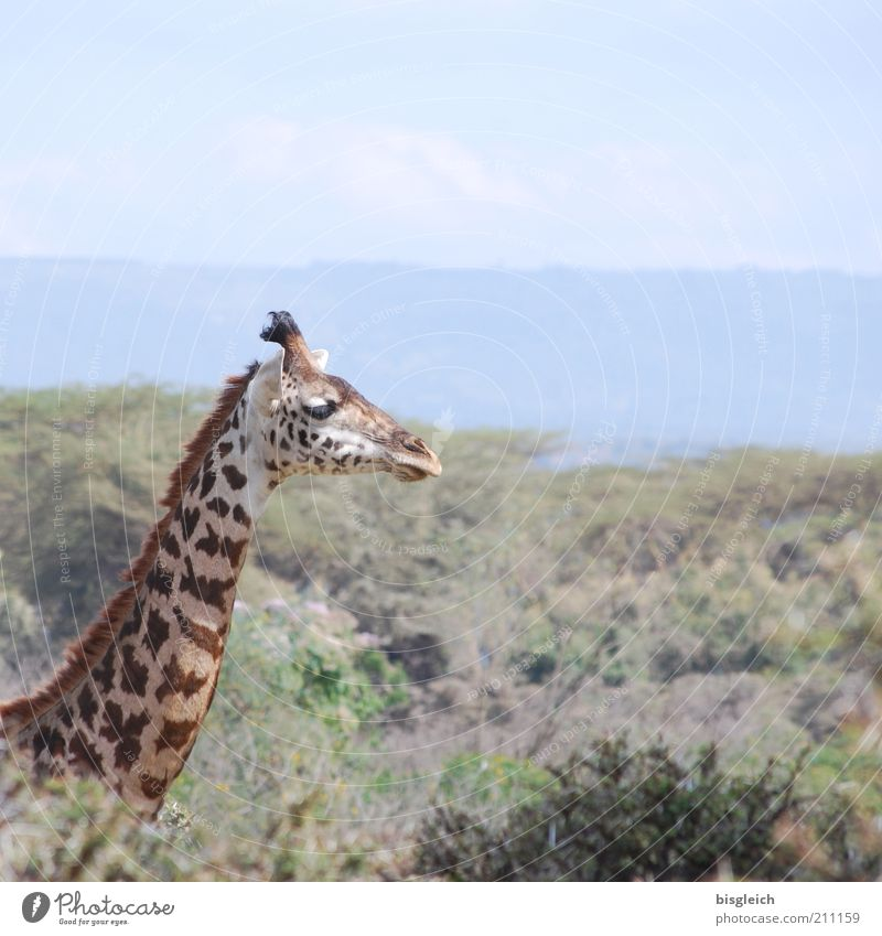 giraffe Safari Wild animal Giraffe 1 Animal Free Brown Yellow Contentment Africa Colour photo Subdued colour Exterior shot Animal portrait Animal face Neck