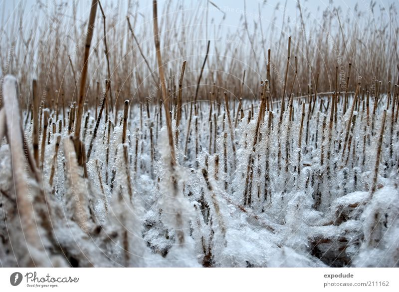 Nature White Plant Winter Cold Grass Landscape Ice Brown Weather Environment Frost Climate Stalk Common Reed River bank