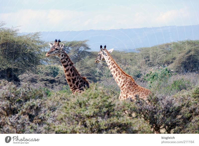 Nature Green Animal Yellow Forest Brown Pair of animals Africa Neck Safari Giraffe Kenya