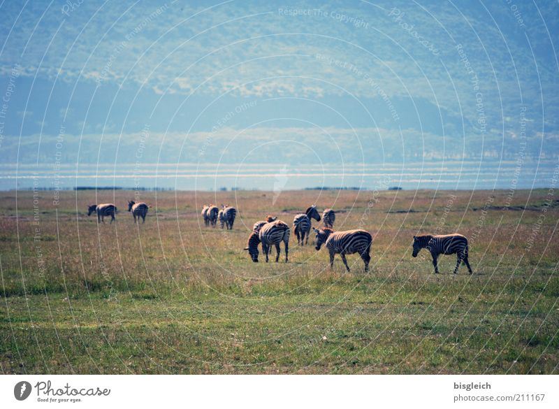 Nature Green Grass Warmth Africa Wild animal Lakeside Beautiful weather To feed Zebra Herd Nature reserve Kenya