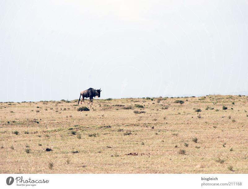 wildebeest Safari Sand Sky Steppe Wild animal Gnu 1 Animal Brown Loneliness Crescent Iceland Kenya Africa Colour photo Subdued colour Exterior shot