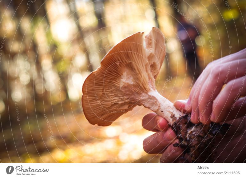 abundance of forests Food Mushroom Slow food Leisure and hobbies Mushroom picker Human being Hand Environment Nature Autumn Wild plant Forest Select Rotate