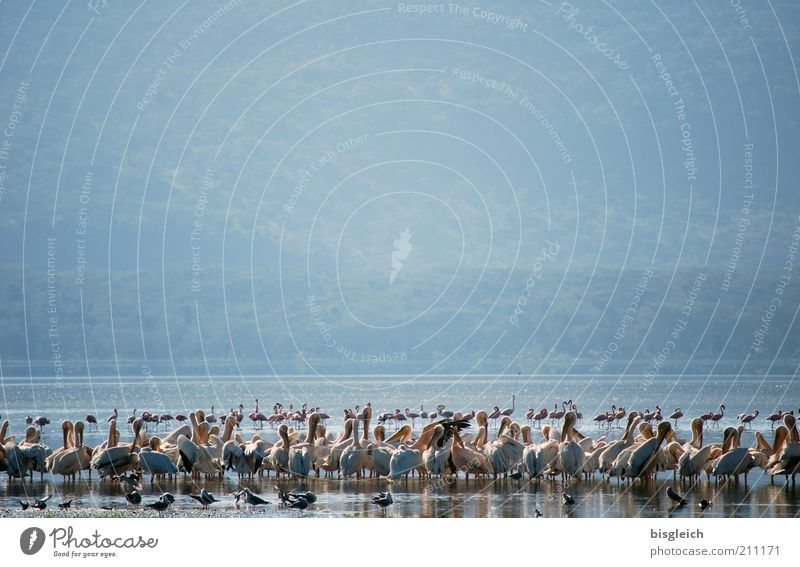 Nature Blue Lake Bird Africa Wild animal Many Lakeside Safari Flock Kenya Pelican