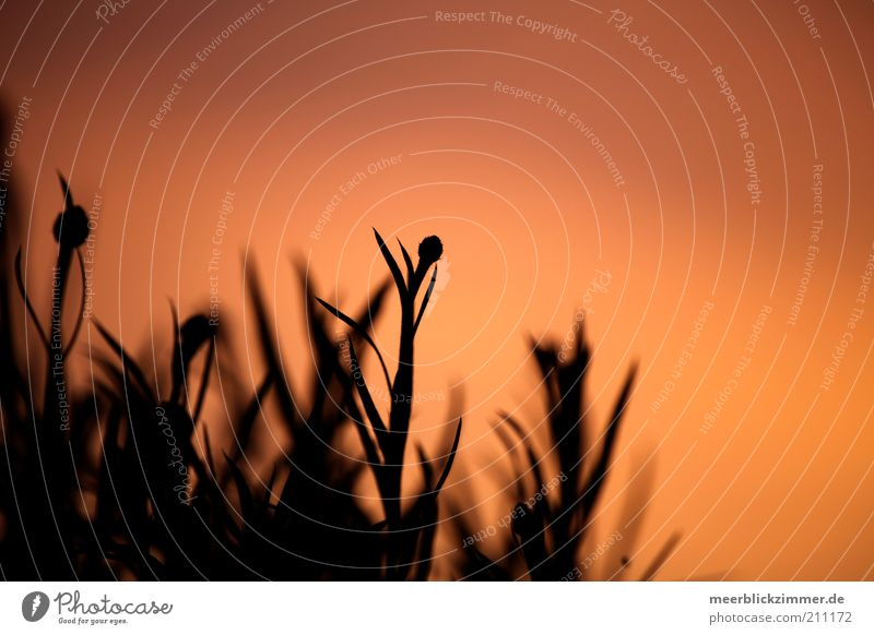sunset Plant Warmth Soft Red Emotions Sunset Blur Colour photo Deserted Copy Space right Copy Space top Evening Sunlight Sunrise Exterior shot Silhouette