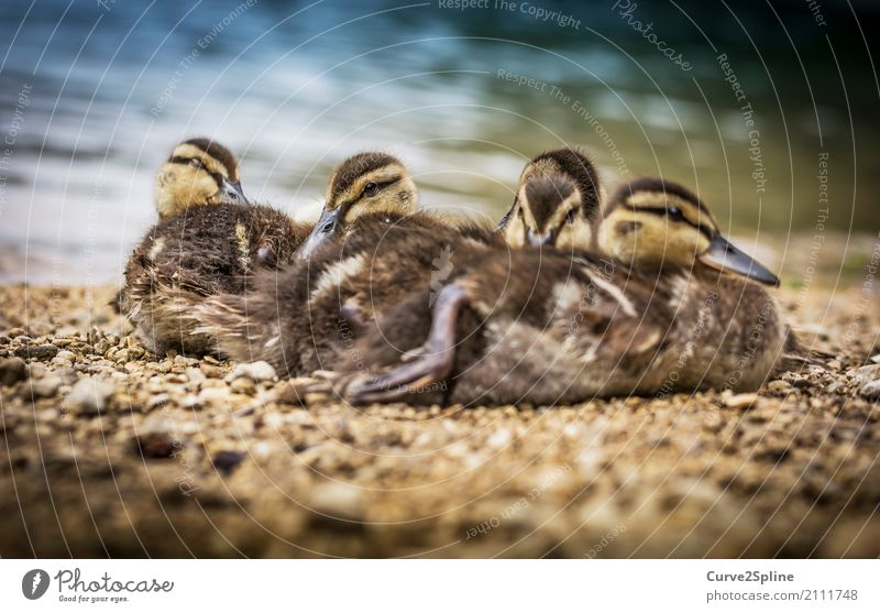 baby bugs Nature Animal Water Bird Animal face 4 Flock Baby animal Animal family Lie Duck Cuddling Freeze Lake Lakeside Sleep Brothers and sisters