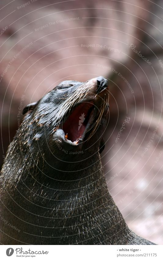 the morning hour has gold in its mouth Animal Animal face Pelt Zoo Seals 1 Brown Red Fatigue Exhaustion Indifferent Boredom Yawn Colour photo Exterior shot