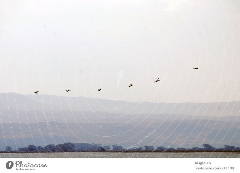Nature Lake Landscape Air Flying Africa Longing Wild animal Row Bird Animal Safari Floating Flock Kenya Flock of birds