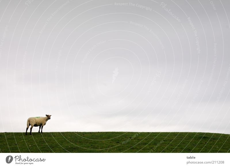 Gertrude Freedom Environment Nature Landscape Animal Sky Horizon Bad weather Meadow Pasture Farm animal Sheep 1 Observe Looking Stand Gray Green Calm Loneliness