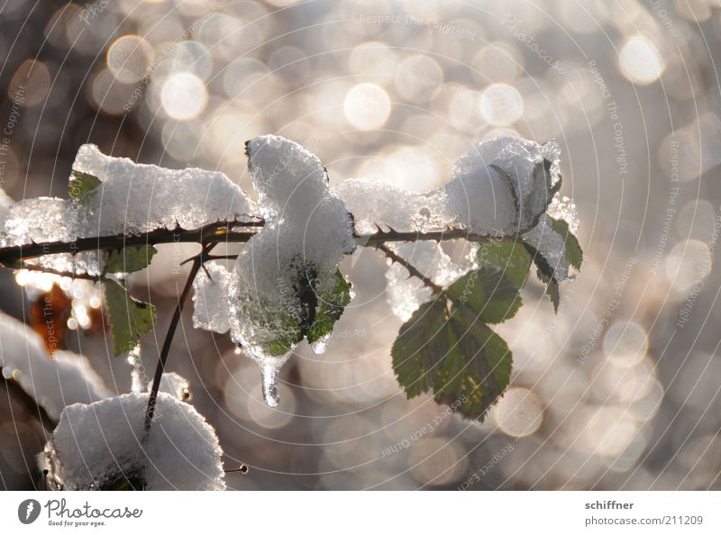 small cooling down... Plant Winter Ice Frost Snow Bushes Rose Leaf Foliage plant Fresh Glittering Cold Calm Thaw Exterior shot Light Reflection Sunlight Sunbeam