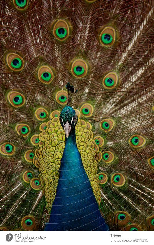 Bird Peacock Animal Zoo 1 Rutting season Blue Yellow Gold Green Self-confident Cool (slang) Power Romance Beautiful Desire Betray Pride Conceited Esthetic