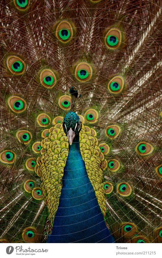 Nature Blue Green Beautiful Animal Yellow Power Elegant Gold Esthetic Masculine Cool (slang) Feather Romance Zoo Relationship