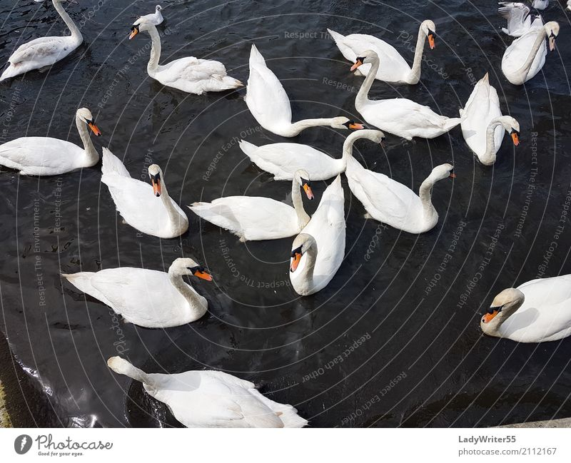 Group of Swans Nature Beautiful White Landscape Animal Lake Bird Wild Elegant Feather Beauty Photography Pond Beak Aquatic