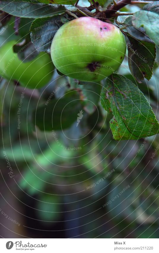 Nature Tree Autumn Garden Healthy Fruit Food Growth Fresh Nutrition Sweet Healthy Eating Apple Delicious Harvest Mature