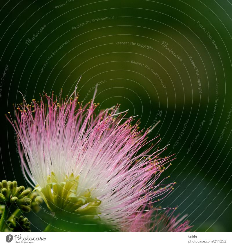 mimosa Plant Wild plant Exotic Mimosa Blossoming Illuminate Growth Esthetic Multicoloured Green Pink White Beautiful Fragrance Uniqueness Nature Pure
