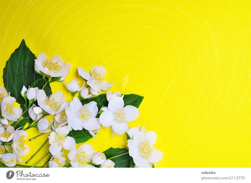 bouquet of blossoming jasmine Beautiful Summer Nature Plant Flower Leaf Blossom Bouquet Fresh Bright Natural Yellow Green White Colour Jasmine background